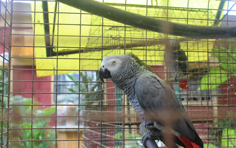 Musa the parrot is good at saying